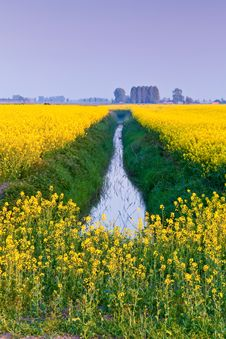 Field With Yellow Rapeseed Flowers Stock Photo