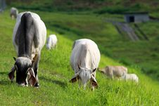Free Herd Of Cows Stock Images - 15474144