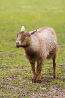 Cute Goat Stock Images