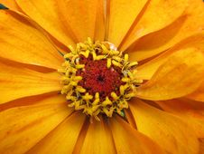 Free Flower Zinnia Stock Images - 15475074
