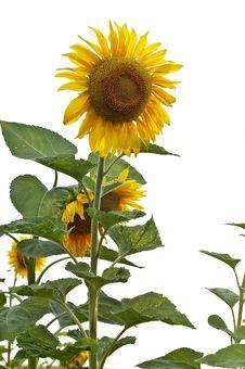Free Sunflowe Stock Image - 15475401