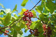 Free Grape Stock Photography - 15475722
