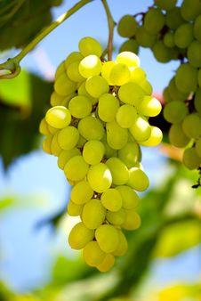 Free Grape Stock Image - 15475761