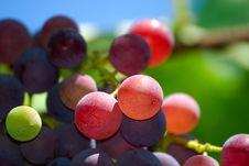 Free Grape Stock Photo - 15475780