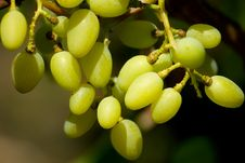 Free Grape Stock Image - 15475811