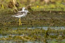 Free Greenshank Pair On Shore Stock Images - 15476584