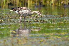 Free Greylag Goose In Shallow Water Stock Photos - 15476783