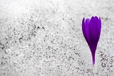 Free Snow Flower Royalty Free Stock Photos - 15476798
