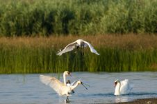 Free Eurasian Spoonbills Fighting Royalty Free Stock Images - 15476909