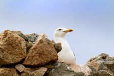 Free Gull Royalty Free Stock Photo - 15476975