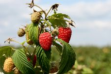 Free Raspberries Stock Images - 15477654