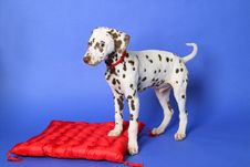 Free Dalmatian Stock Photos - 15478023