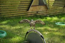 Free Falcon,falco Cherrug . Stock Photo - 15478210