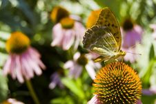 Free Butterfly Stock Image - 15478471