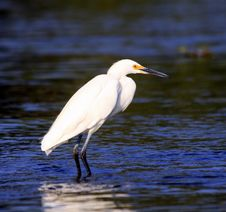 Free Snowy Egret Stock Photography - 15479942
