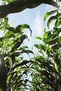Free Corn Stems. Royalty Free Stock Photo - 15481165