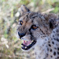 Free A Beautiful Cheetah Stock Image - 15485301