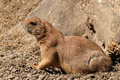 Free Black-tailed Prairie Dog Stock Photo - 15487200