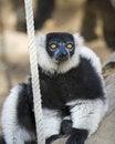 Free Black And White Ruffed Lemur Royalty Free Stock Photo - 15487735
