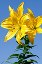 Free Yellow Lily Royalty Free Stock Photography - 15488557
