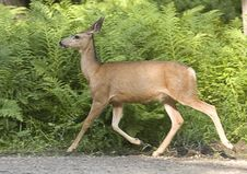 Free Deer Moves Along In Woods. Royalty Free Stock Image - 15480206