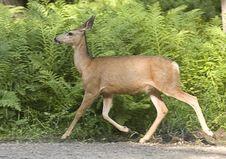 Deer Moves Along In Woods.