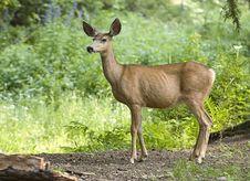 Free Side Portrait Of A Deer. Stock Photo - 15480500