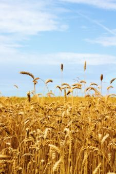 Free Wheat. Stock Images - 15480904