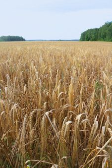 Free Rye Field.. Royalty Free Stock Photos - 15481118