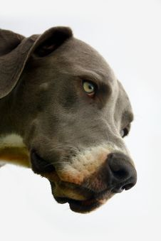 Free Great Dane Stock Image - 15481121