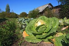 Free Cabbage Stock Photo - 15484940