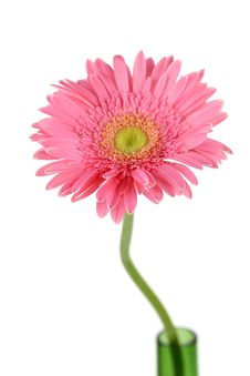 Free Pink Daisy Stock Images - 15484964