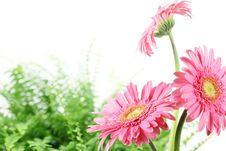 Free Fresh Pink Daisy Royalty Free Stock Image - 15484976