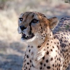 Free The Beautiful Cheetah Stock Images - 15485194