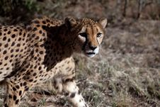 Free Cheetah Royalty Free Stock Photo - 15485215