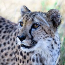 Free A Beautiful Cheetah Stock Photo - 15485320