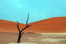 Dead Acacia Trees In Desert Stock Image