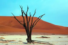 Free Dead Acacia Trees In Desert Royalty Free Stock Photos - 15485568