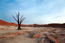 Dead Acacia Trees In Desert Royalty Free Stock Images