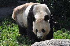 Free Bear Panda Stock Photos - 15487183