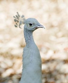 Free White Peacock Royalty Free Stock Image - 15487546
