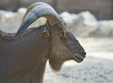 Free Barbary Goat Stock Photography - 15487912
