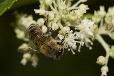 Free Honey Bee Royalty Free Stock Photography - 15487947