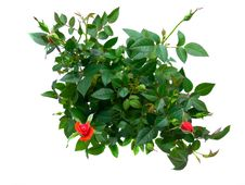Free Rosebud Stock Images - 15488184