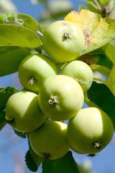 Free Apple Branch Stock Image - 15488711