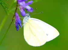 Free Butterfly, Cabbage White Stock Image - 15488811