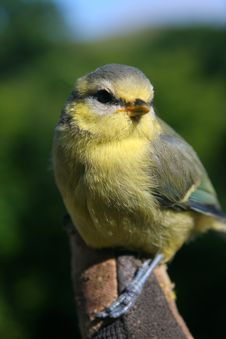 Free Perched Blue-Tit Royalty Free Stock Photos - 15489398