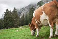 Free Cow Grazing In The Mountains Royalty Free Stock Photos - 15489558