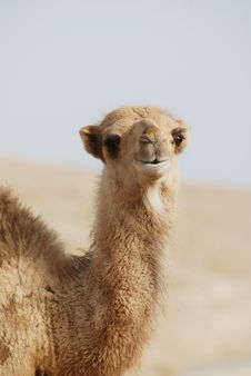 Free Camel S Portrait Royalty Free Stock Images - 15490759