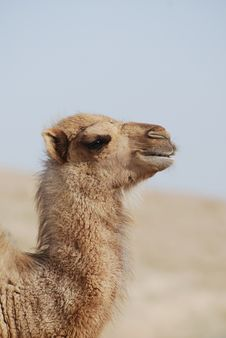 Free Camel S Portrait Stock Photo - 15490790